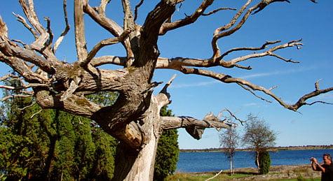 Fina träd på Arpö