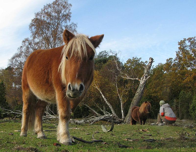 Hästar på Slädö