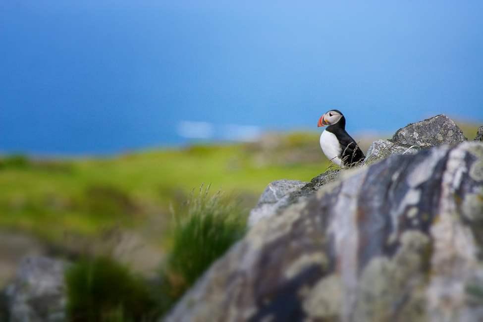 Gott om Lunnefåglar på Lovund under vår och sommar