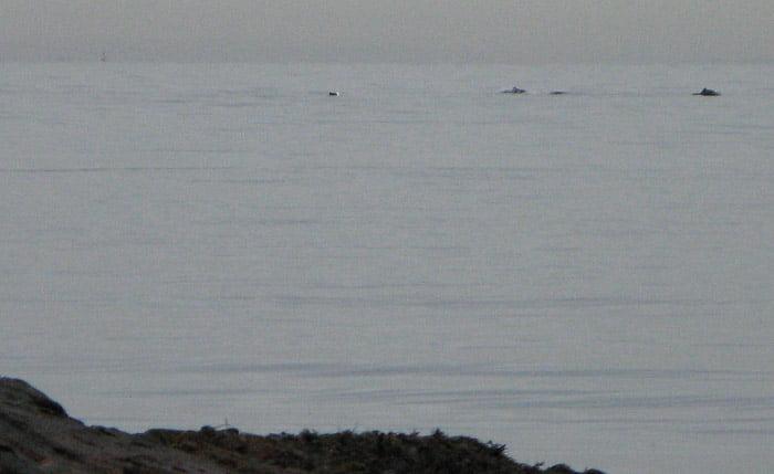 Så här dåligt kan det bli när man försöker fotografera tumlare med kompaktkamera ;-)