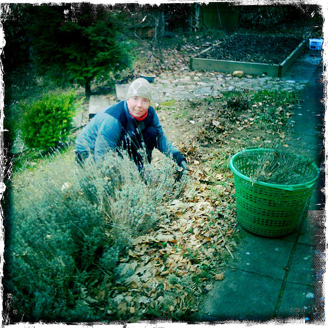Pia klipper Lavendelbuskarna