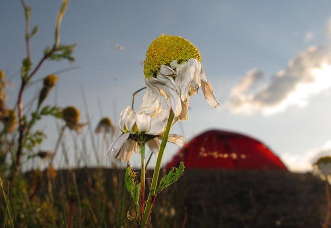 Blommor, tält och kanonfin kväll