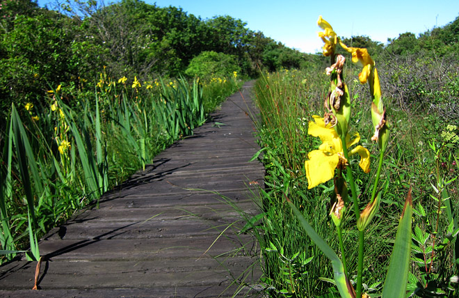 Spången över kärret, växer finfina irisar