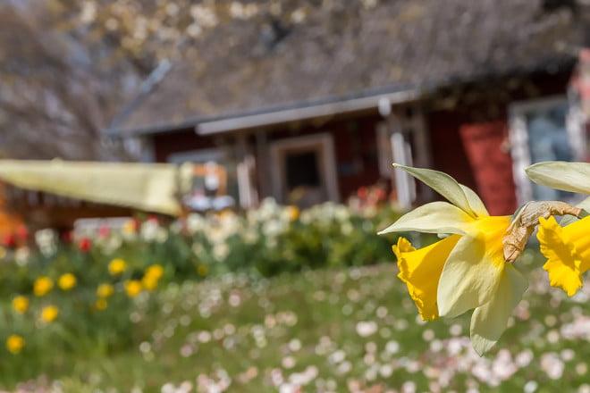 Det blommor både i trädgårdar och i skogen