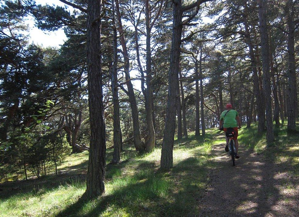 Tallskogscykling på nordöstra Fårö