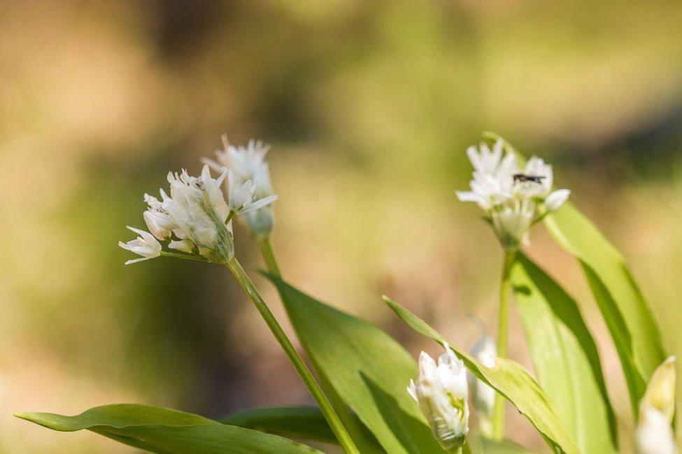 Ramslöken blommar
