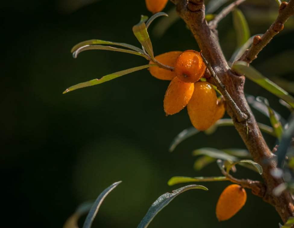 Havtorn - planterades förra året. Inte så många bär men kanske nån halvliter