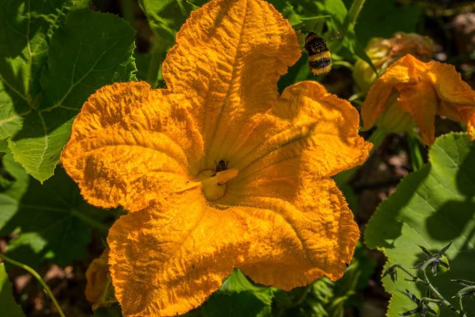 Pumpablommor i mängder. Bina och humlorna älskar de stora blommorna på squash och pumpa