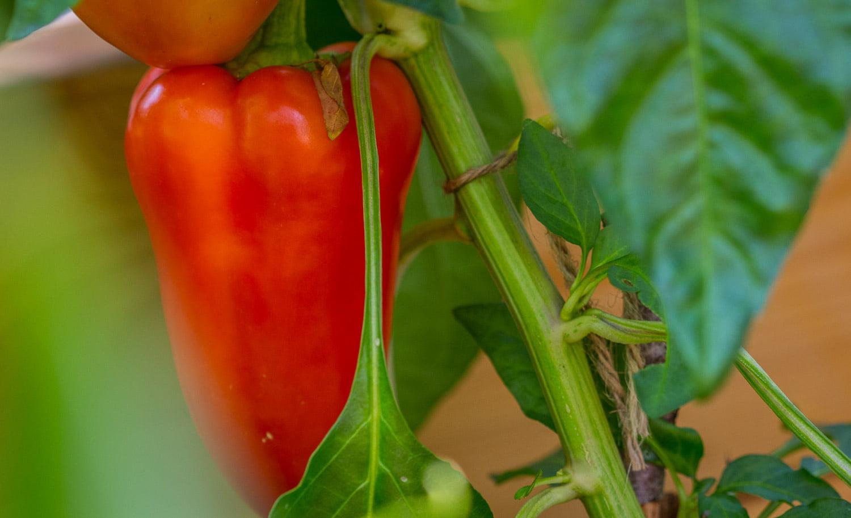 Paprika - grymt gott med egenodlade paprikor också