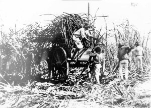 Working in a canefield Pioneer Brandon 1884