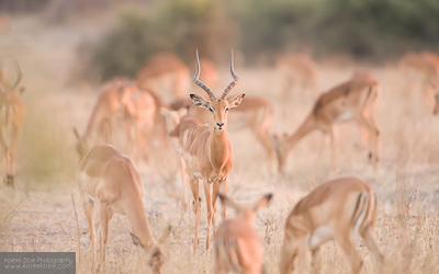 Impala - Chobe, Botswana