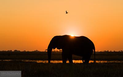Bull elephant sunset - Chobe, Botswana
