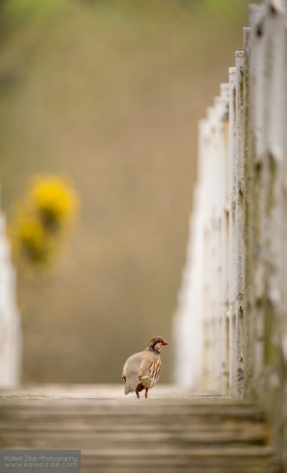 Red-legged partridge (Alectoris rufa) crossing a bridge. BWPA short-list 2013 'Urban Wildlife'