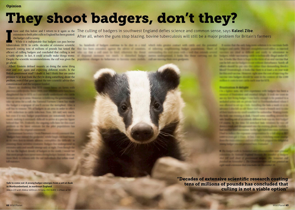 My opinions on the badger cull