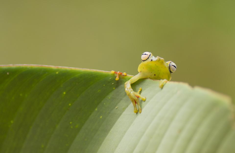 Canal zone tree frog, Hypsiboas rufitelusCosta Rica