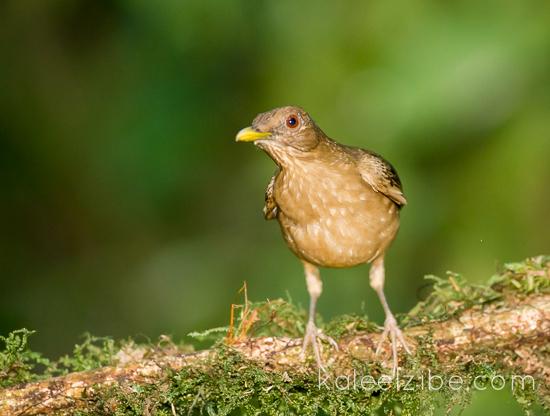 Clay coloured robin