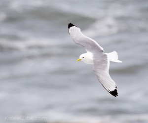 Kittiwake, Dunstanburgh, Northumberland