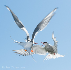 Fighting arctic terns at the Farne Islands. There's just enough motion blur in the wings to give a lift to the action