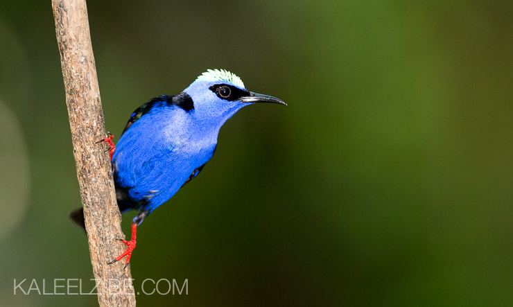 Male red-legged honeycreeper taken in gloomy Costa Rican conditions. With flash, however, the whole bird lights up