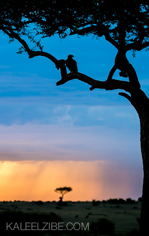 A tawny eagle roosts at dusk