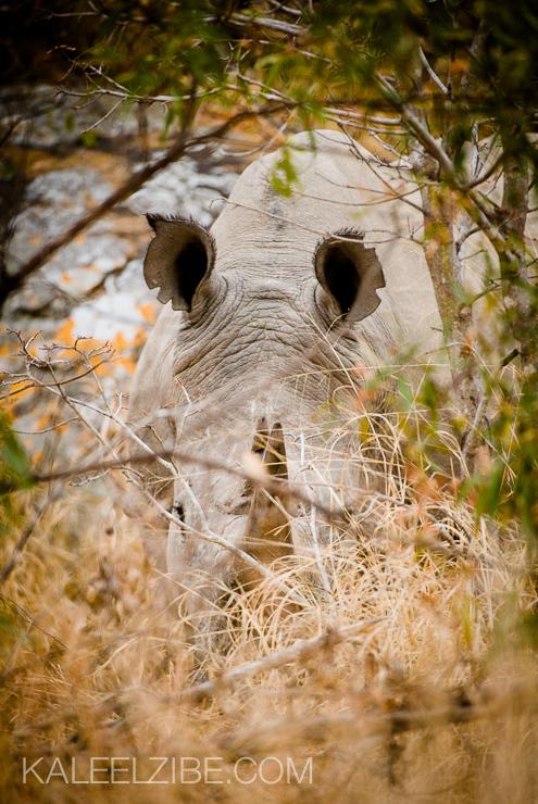 20080804-_ND33922 White rhino-Matopos National Park-Zimbabwe-Africa-KaleelZibe.com