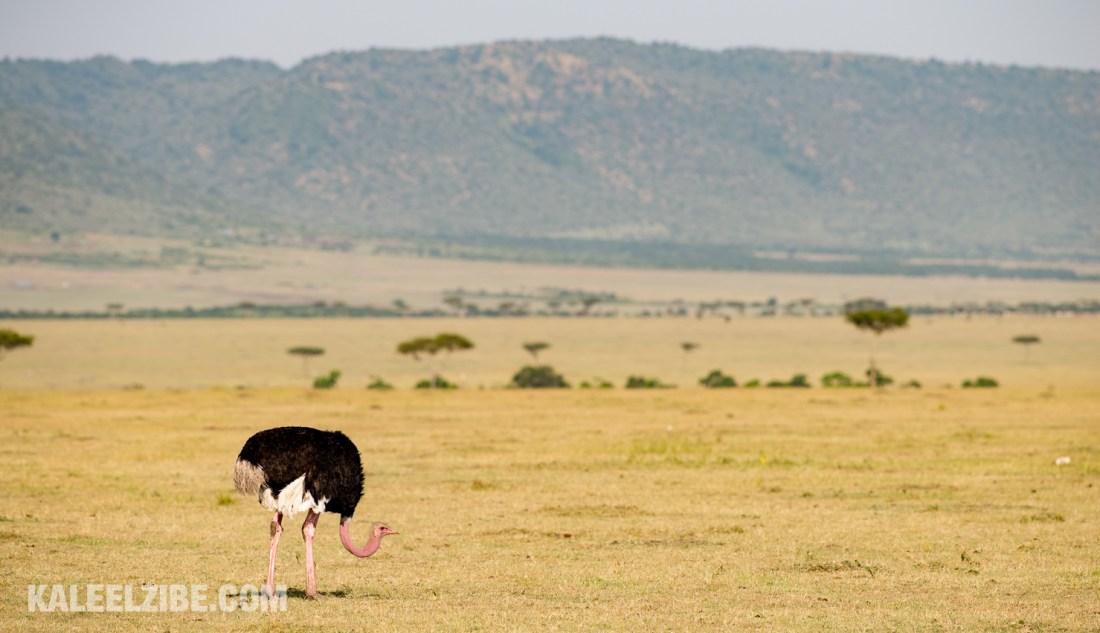 20150821-_D8E0016-2-Male ostrich in breeding colours-Kenya-KaleelZibe.com