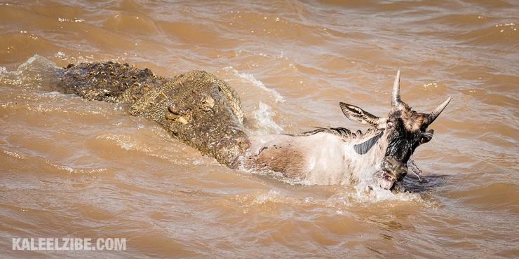 20160903-_d8e1343-crocodile-attack-masai-mara-great-migration-kenya-kaleelzibe-com