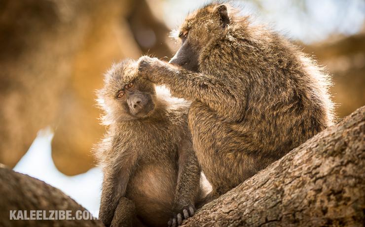 20160906-_d8e1600-olive-baboons-grooming-leopard-gorge-mara-north-masai-mara-kenya-kaleelzibe-com