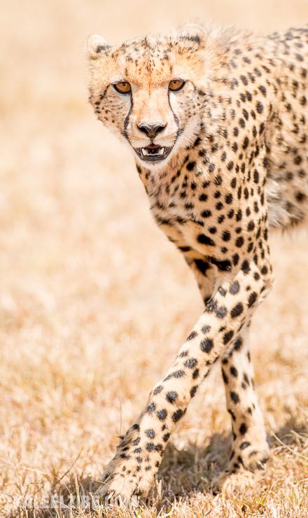20160908-_d8e1707-cheetah-masai-mara-kenya-kaleelzibe-com