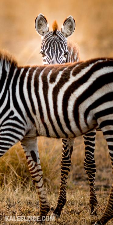 20160909-_d8e1787-hide-and-seek-zebra-masai-mara-kenya-kaleelzibe-com