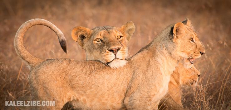 20160909-_d8e1919-lion-cubs-perfect-chin-rest-kenya-masai-mara-kaleelzibe-com