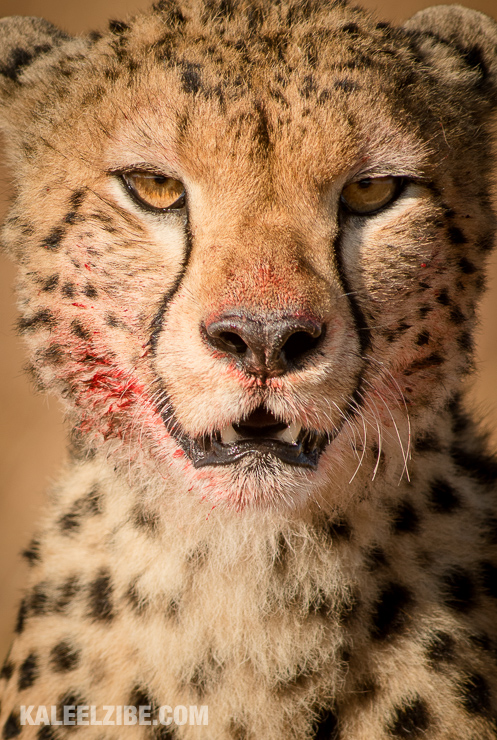 Cheetah, having just killed a young wildebeest