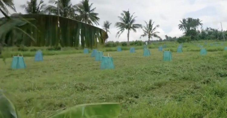 Happy Pili Tree 農場與蒸餾廠 — 菲律賓比科爾地區