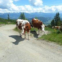 Les vaches an Autriche