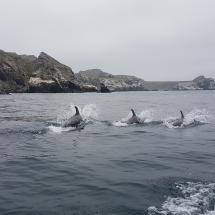 Dauphins au Chilé