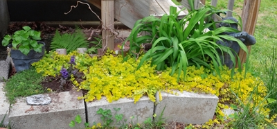 the little shade garden by my little porch is overrun with Creeping Jenny -- but that's just fine because I keep moving some to other parts of the yard that are bare