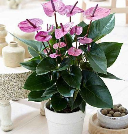 Image result for Flamingo Lily houseplant