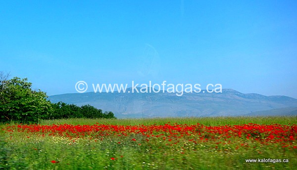 Spring poppies, Amynteon, Florinis