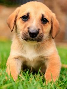 A cute labrador puppy.