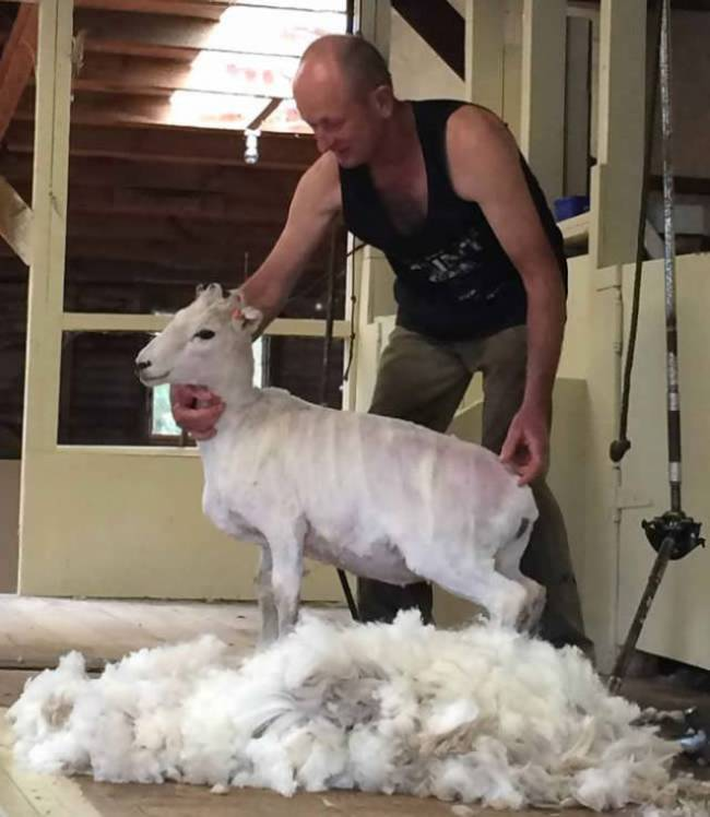 sheep after shearing