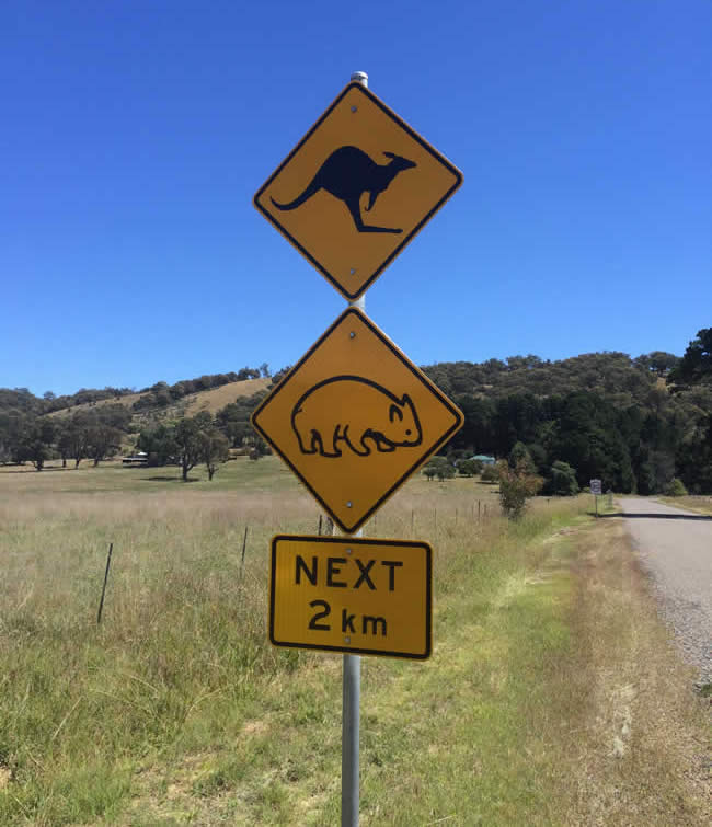 kangaroo and woman crossing