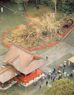 Fallen ginkgo tree at Hachimangu