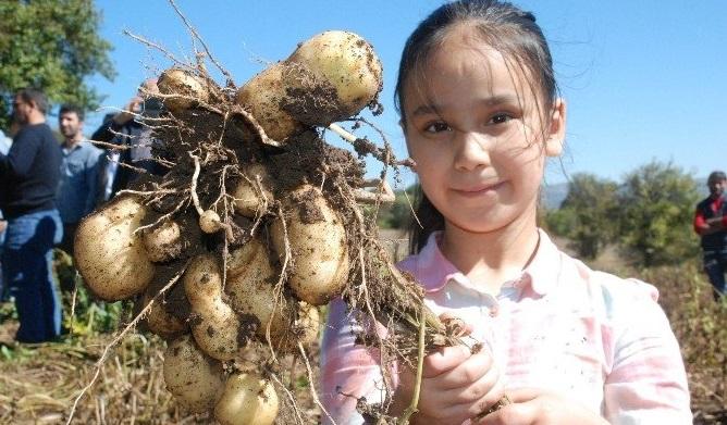Yerli patates 'Başçiftlik Beyazı' ödül getirdi.