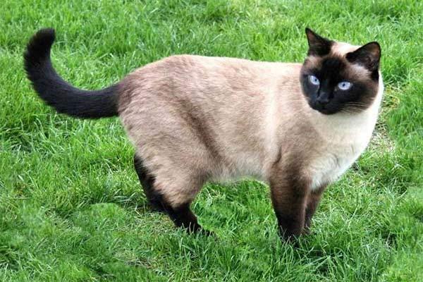 Mengenal Kucing Siamese (Siam)