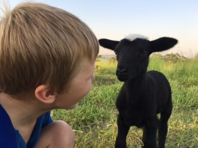 kandanga-farm-lamb