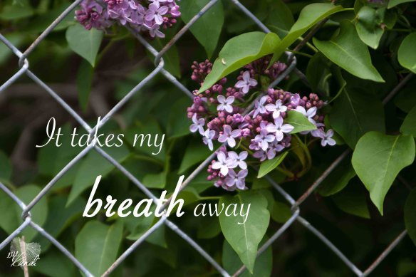 purple lilacs poking through a metal fence with the caption it take my breath away
