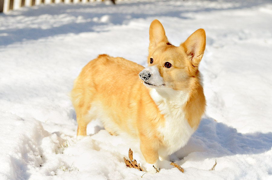Corgi-in-snow-pose