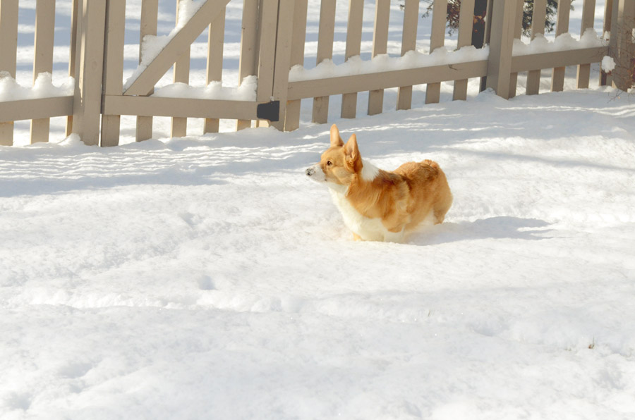 Corgi-in-snow