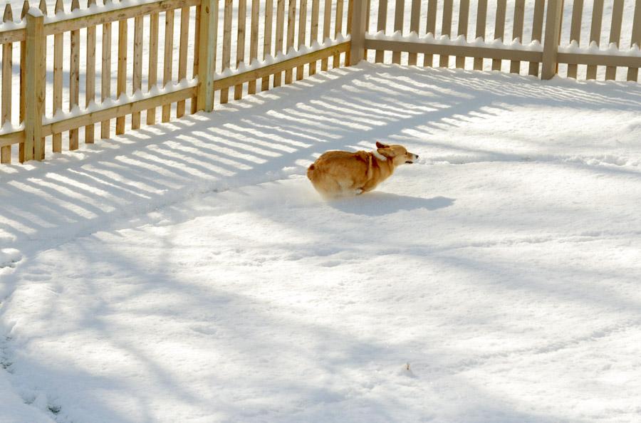 Corgi-snow-frap