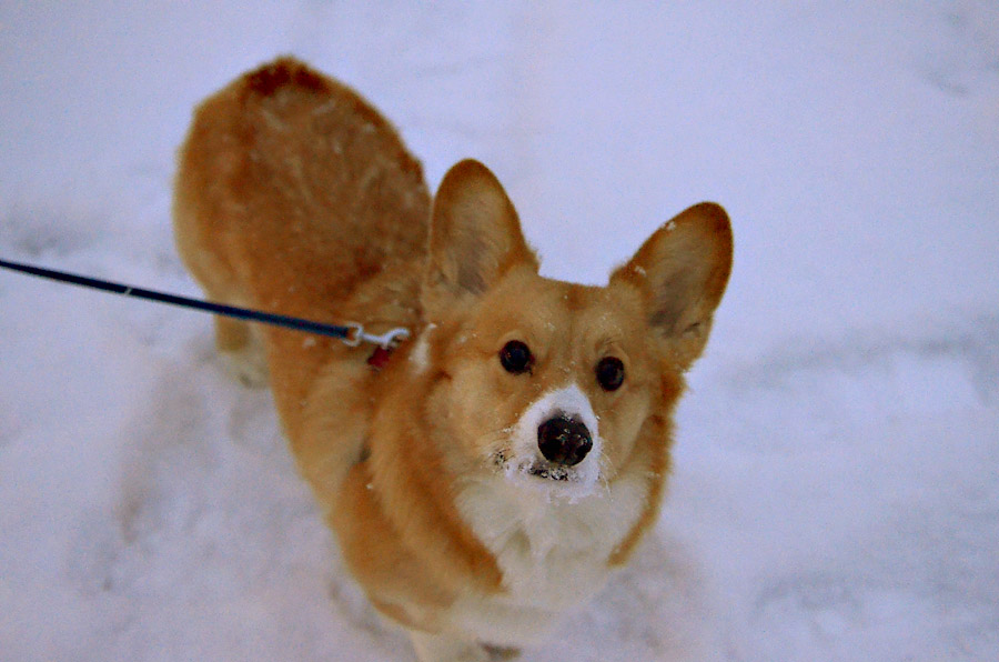 Corgi-snow-walk-at-night